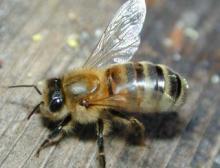 Вчера утром укусила пчела. в лоб.  Сильный отек глаз.